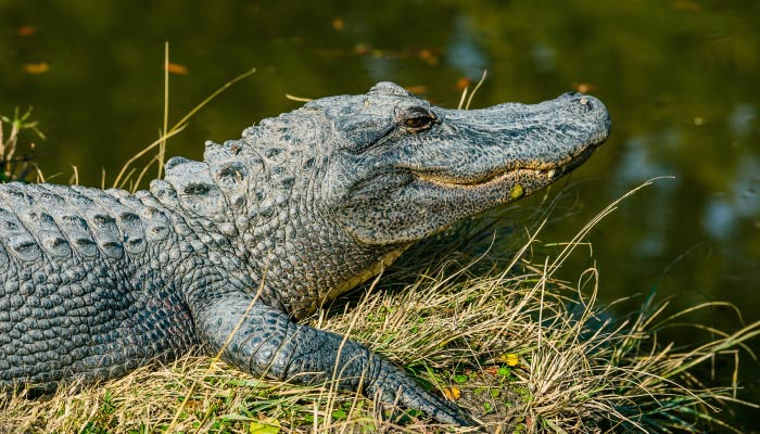 An alligator at North Myrtle Beach sits on a grassy embankment next to a pond of water